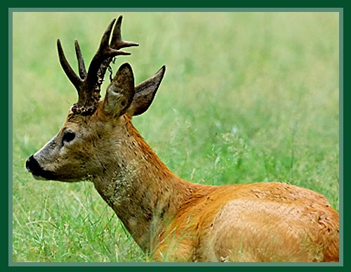 http://www.newspsychology.com/fa/psychology/na/photos/images/746roe_deer.jpg